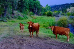 Off Cattle Drive